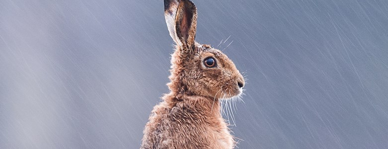 Brown Hare (11 of 63).jpg