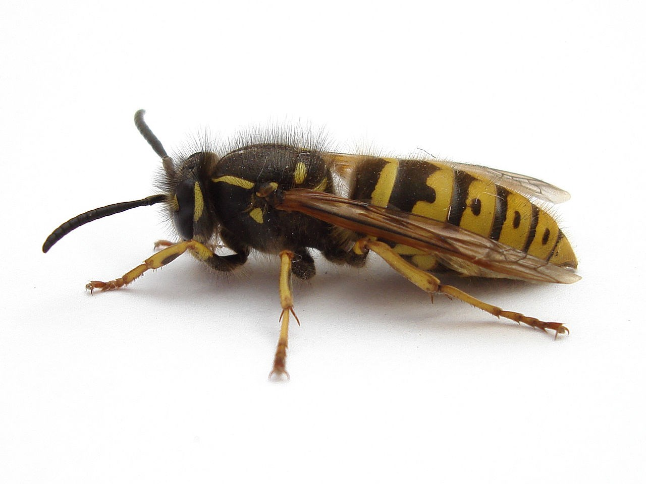 Wasp pic pest control.jpg