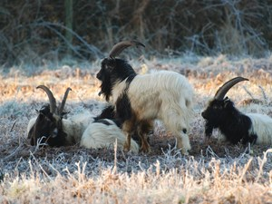 Goats return to Cromer