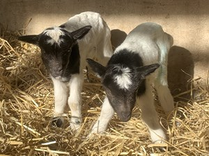 A dozen bundles of joy are additions to popular North Norfolk herd