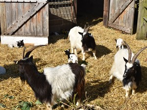 Bagot Goats re-introduced to Cromer Cliff